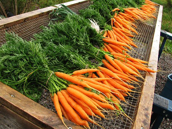 carrots on wash stand