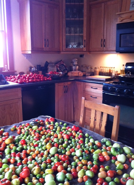 heirloom tomato harvest