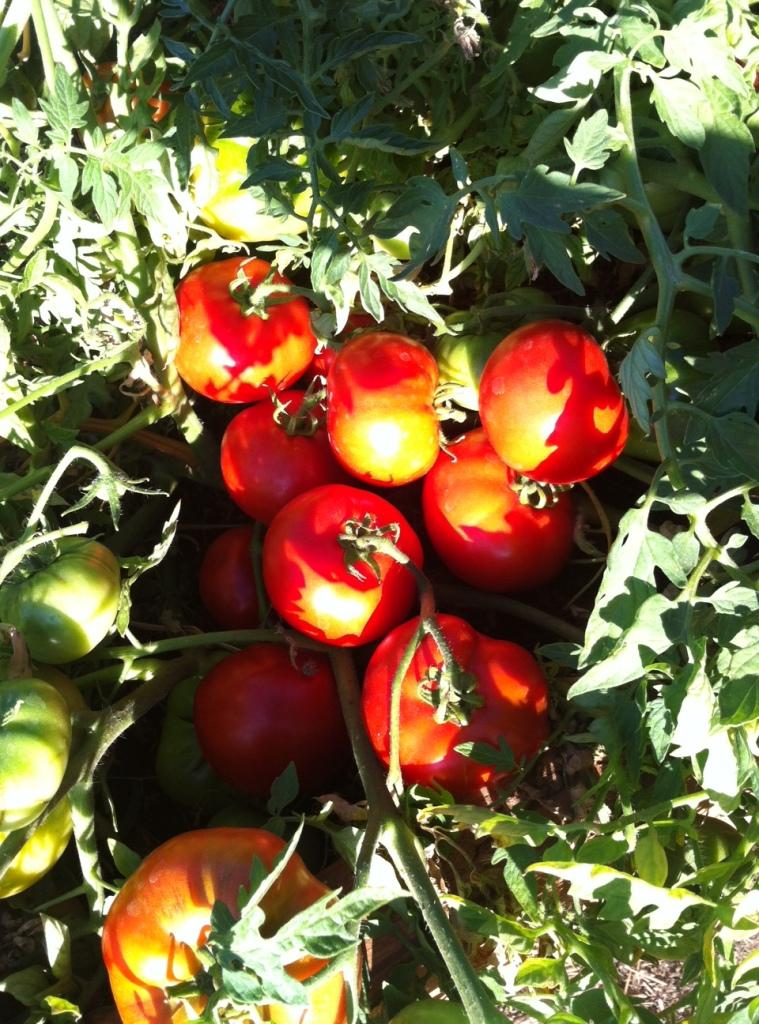 Silver Fir Tree tomato