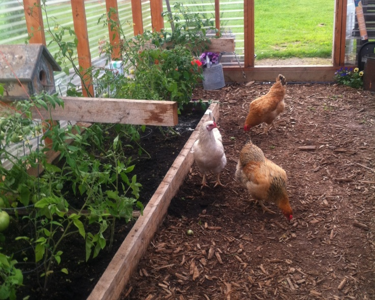 chickens for pest control