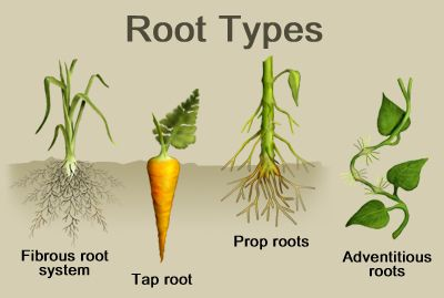 root types